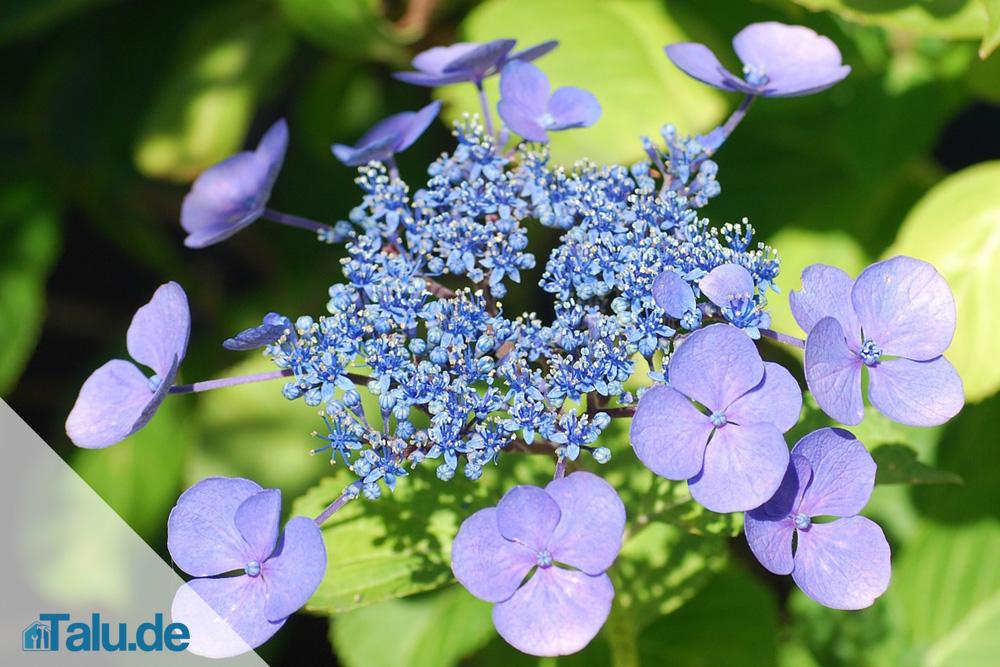 Tellerhortensie, Hydrangea Serrata - Pflanzen Und Pflege - Talu.de Hortensien Pflege Lernen Sie Wie Sie Ihre Zimmerpflanzen Pfoegen