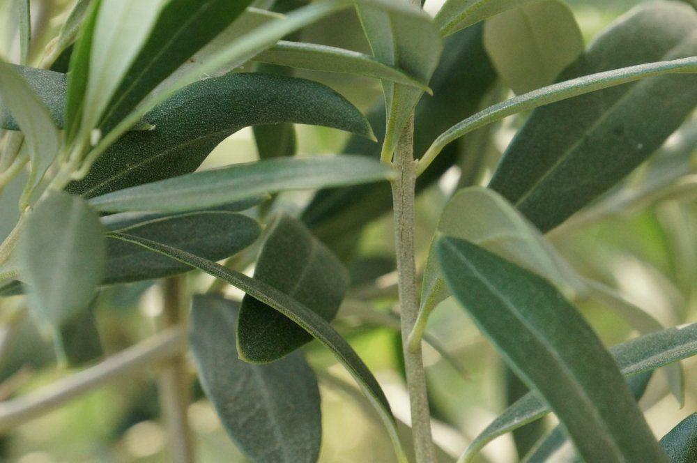 Olivenbaumüberwintern Anleitung& häufige Probleme Talu de ~ 26155015_Sukkulenten Überwintern Temperatur