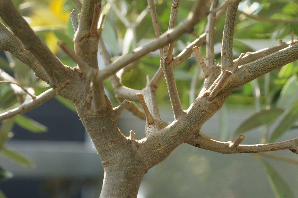 olivenbaum sch dlinge wolll use und schildl use. Black Bedroom Furniture Sets. Home Design Ideas