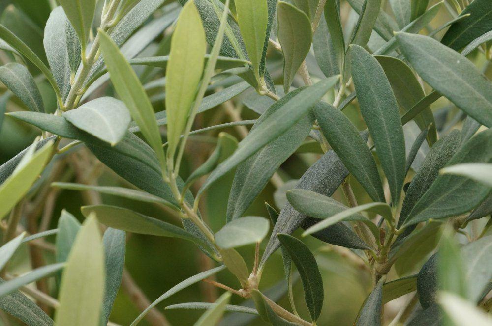 olivenbaum richtig pflanzen tipps f r garten und topf. Black Bedroom Furniture Sets. Home Design Ideas