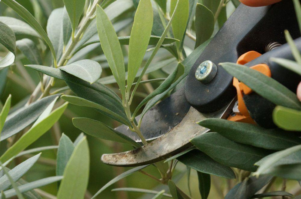 olivenbaum-04900