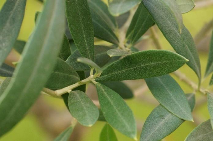 Olivenbaum Als Bonsai   Pflegen, Schneiden Und Überwintern   Talu.de,  Wohnzimmer