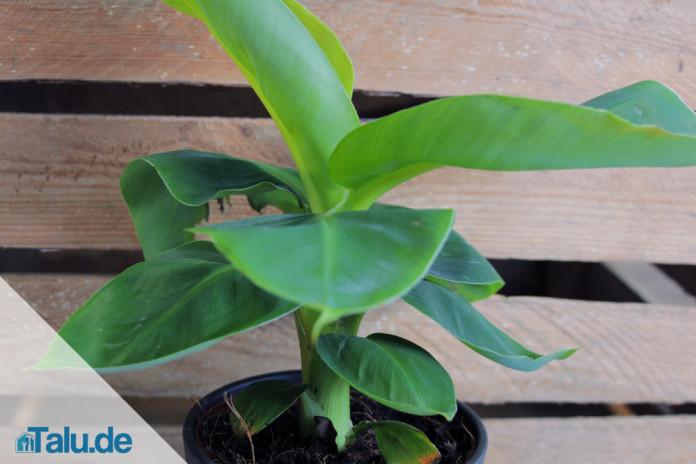Gemeinsame Bananenpflanze im Zimmer - das 1x1 der richtigen Pflege - Talu.de #EO_21