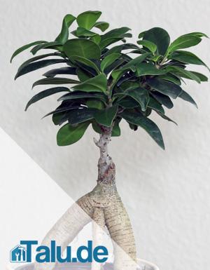 Pflege von Ficus Ginseng