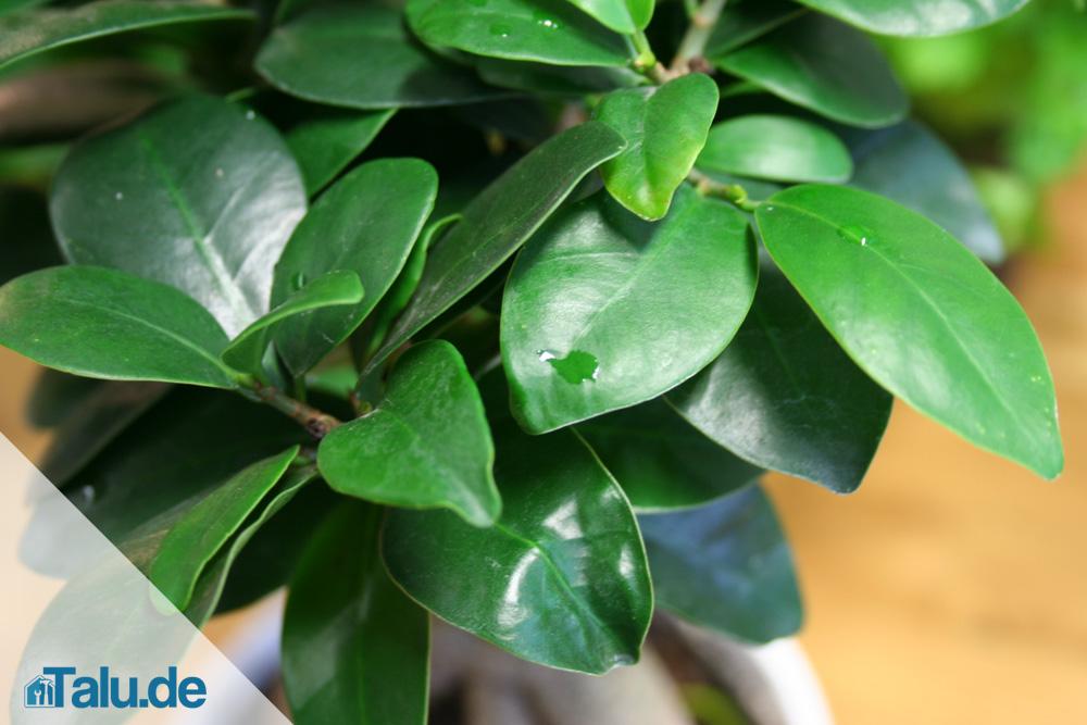 Ficus-Ginseng