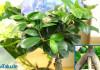 Ficus Ginseng pflegen