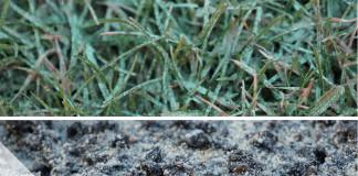 Rasen kalken