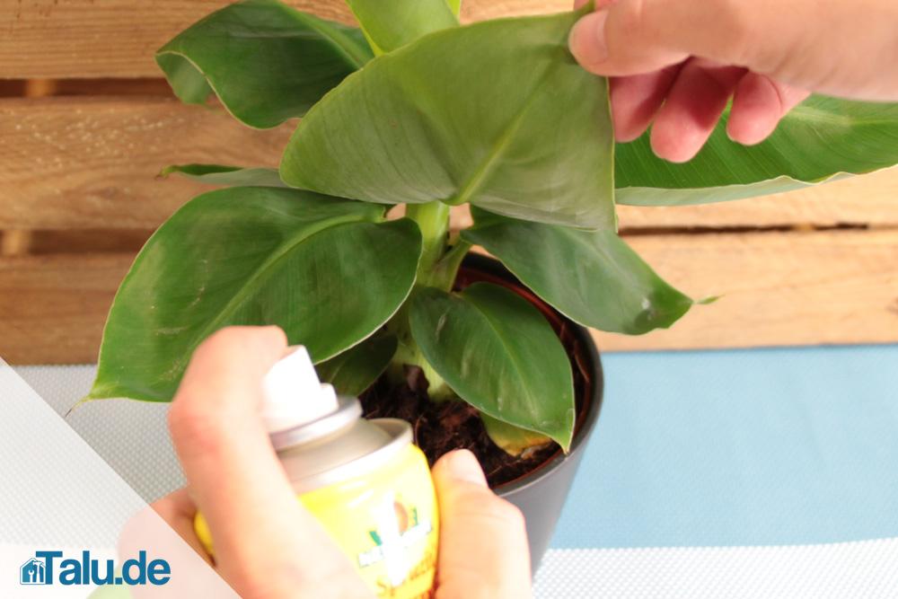 Bananenpflanze pflegen