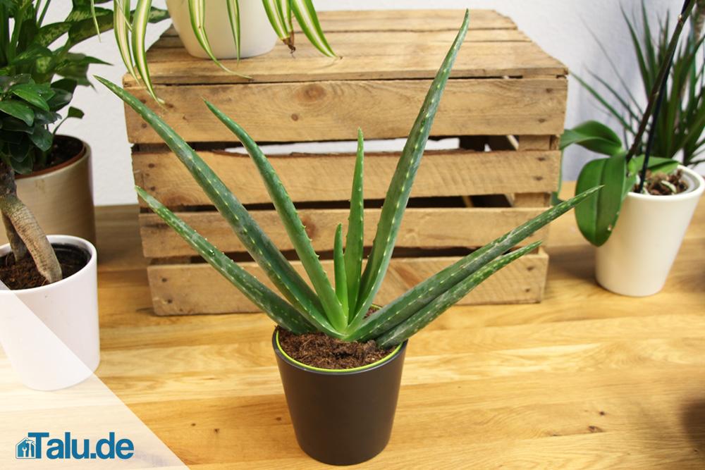 design 5001772 aloe vera pflanze pflege anwendung aloe vera pflanze pflege anwendung. Black Bedroom Furniture Sets. Home Design Ideas