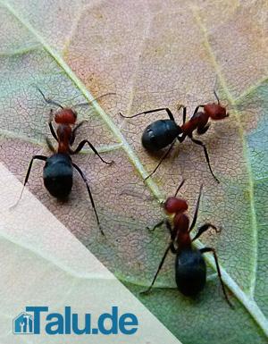 fliegende ameisen so werden sie die plage los. Black Bedroom Furniture Sets. Home Design Ideas