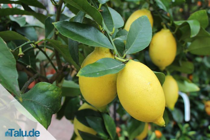 Zitronenbaum pflegen