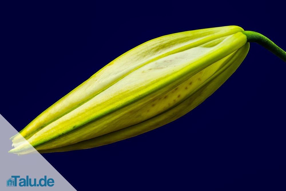 madonnenlilie lilium candidum pflege und vermehren. Black Bedroom Furniture Sets. Home Design Ideas