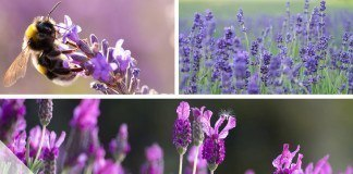 Blütezeit von Lavendel