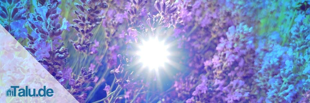 Lavendel-Pflege1