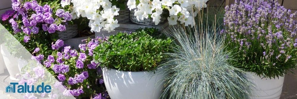 Lavendel-Pflege2