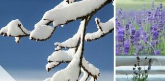 Lavendel überwintern