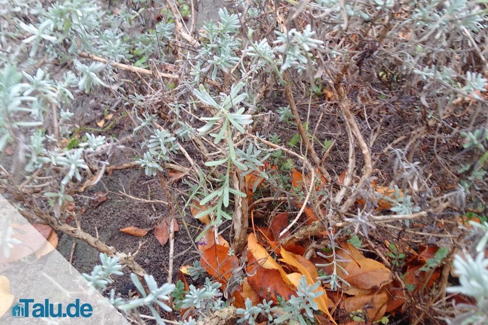 Lavendel-verholzt
