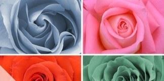 Rosen schneiden - Beitrag