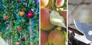 Apfelbaum in Form schneiden