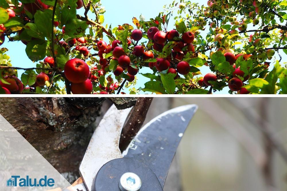 Apfelbaum Wann Schneiden : anleitung apfelbaum selbst schneiden apfelbaumschnitt ~ Frokenaadalensverden.com Haus und Dekorationen