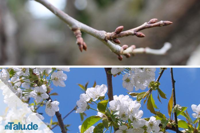 Fabelhaft Kirschbaumschnitt: Spindelbaum schneiden - Talu.de @SA_22