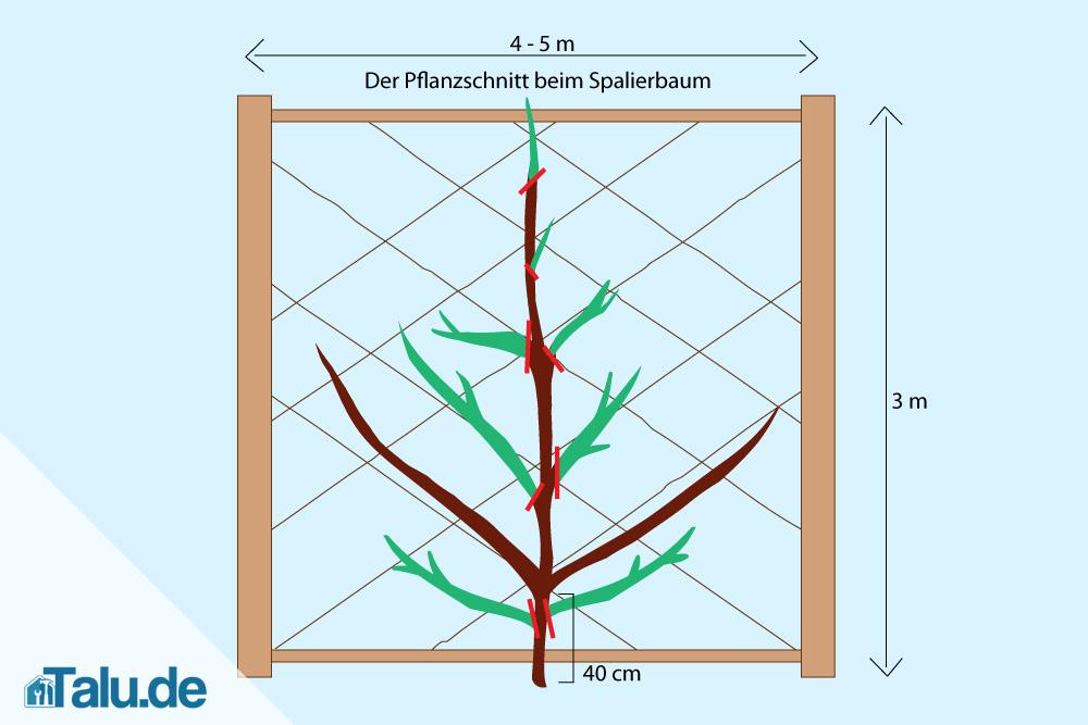 kirschspalier-pflanzschnitt-grafik