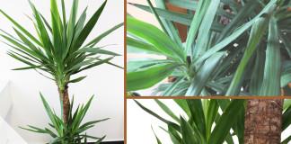 Palmlilie pflegen
