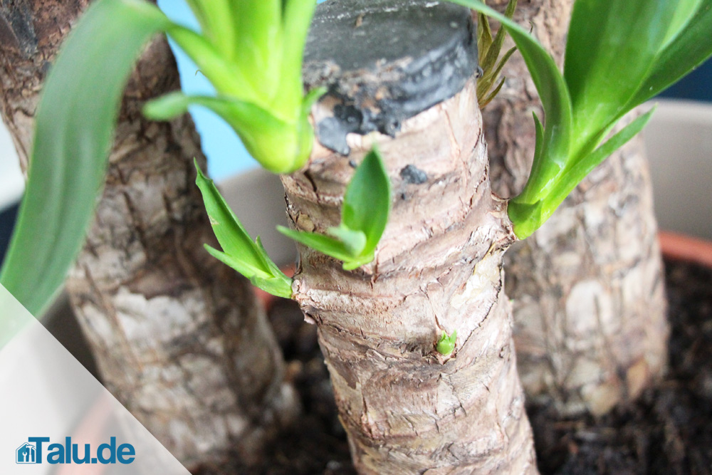 Yucca-Palme pflegen