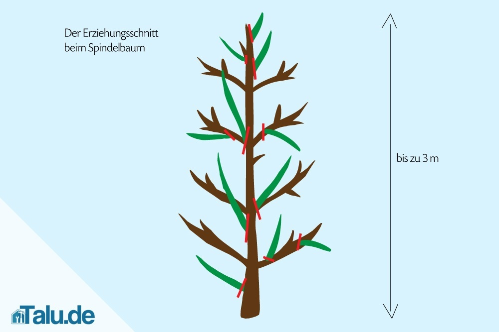 spindelbaum-schneiden-erziehungsschnitt