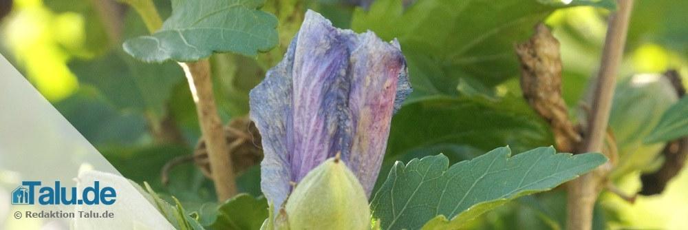 Gartenhibiskus ist empfindlich gegen Regen