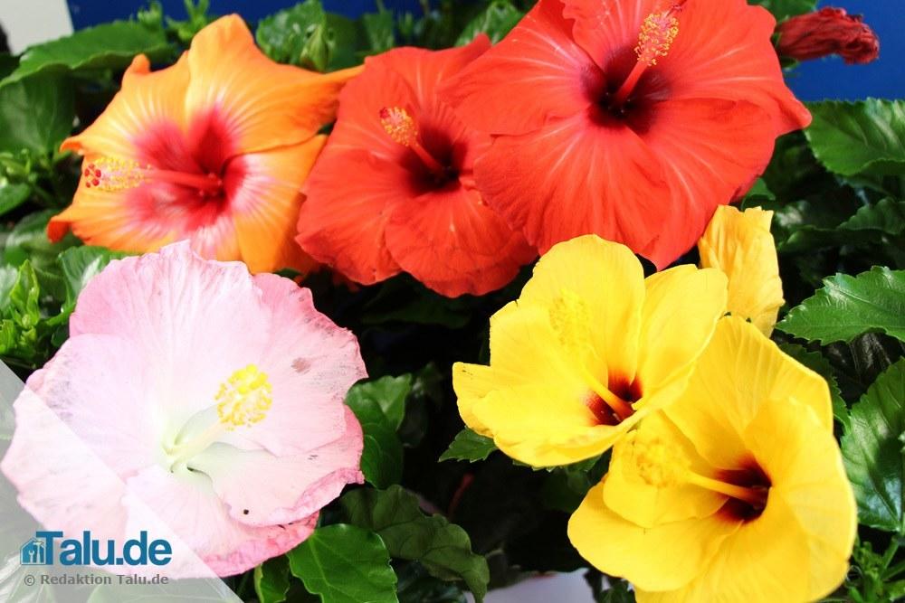Hibiskus Pflege Zimmerpflanze : zimmerhibiskus die beste pflege als zimmerpflanze ~ A.2002-acura-tl-radio.info Haus und Dekorationen