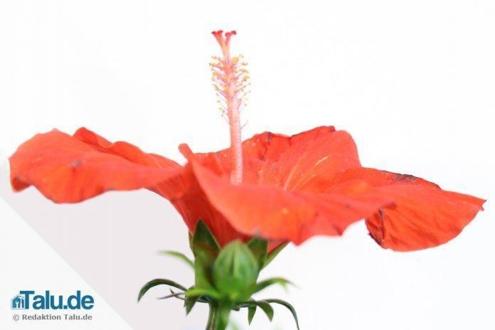 hibiskus im garten anleitung und infos zur pflanzzeit. Black Bedroom Furniture Sets. Home Design Ideas