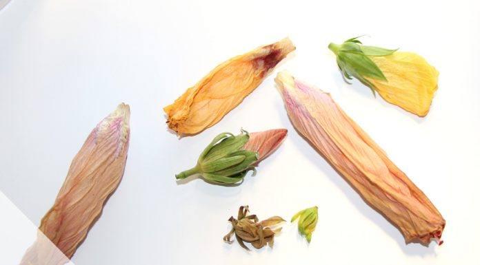 Hibiskus züchten