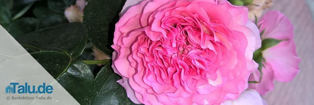 Rosen, Lavendel oder Malven als Nachbarpflanzen