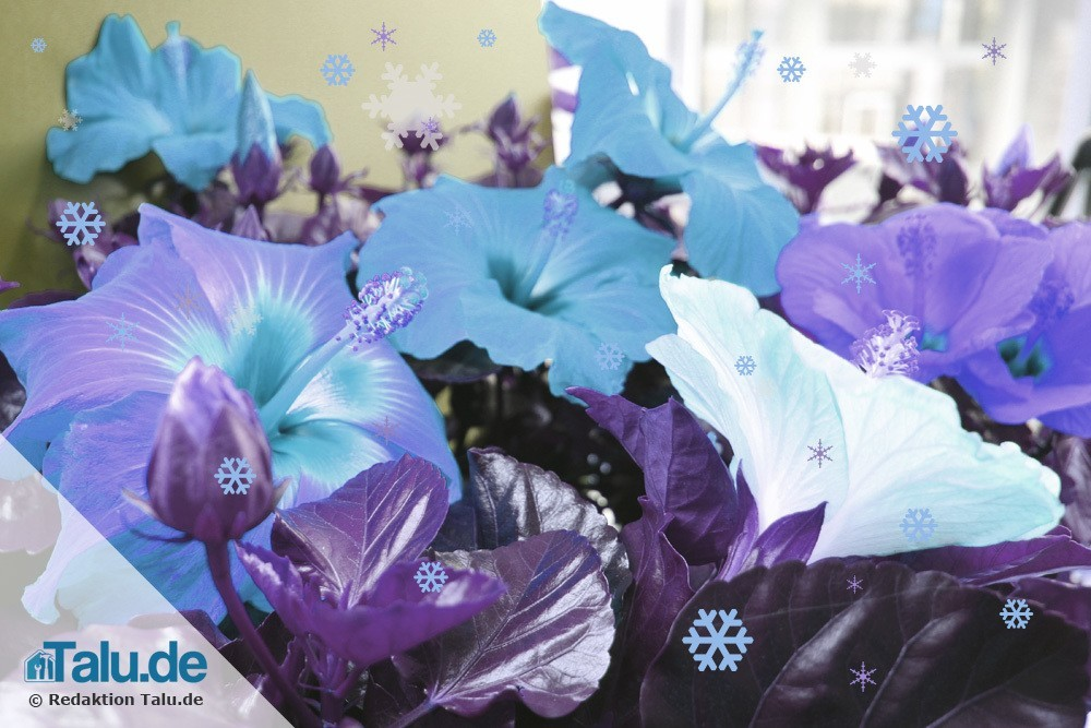 ist der hibiskus winterhart info zu frostbest ndigen arten. Black Bedroom Furniture Sets. Home Design Ideas