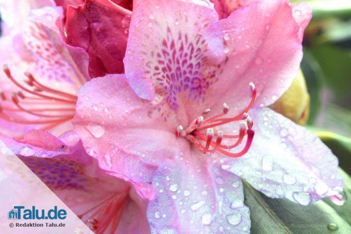 Top Rhododendron vermehren durch Ableger und Stecklinge - Talu.de EO65