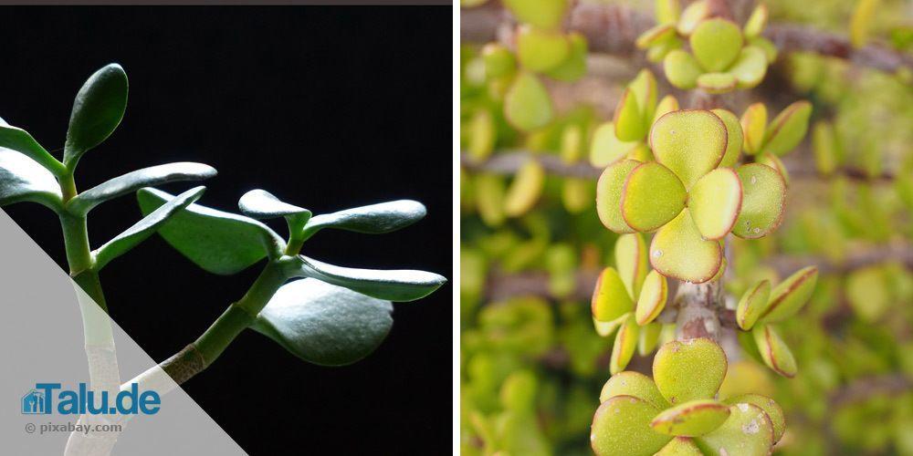 geldbaum-zur-hochzeit-pflanze