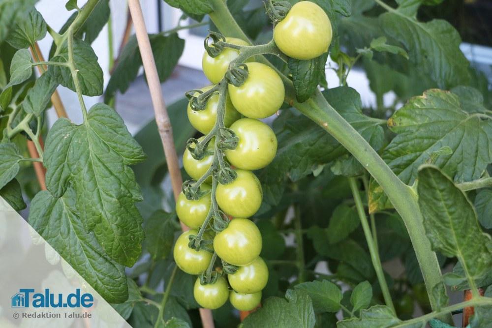 langer Fruchttrieb bei Tomatenpflanze