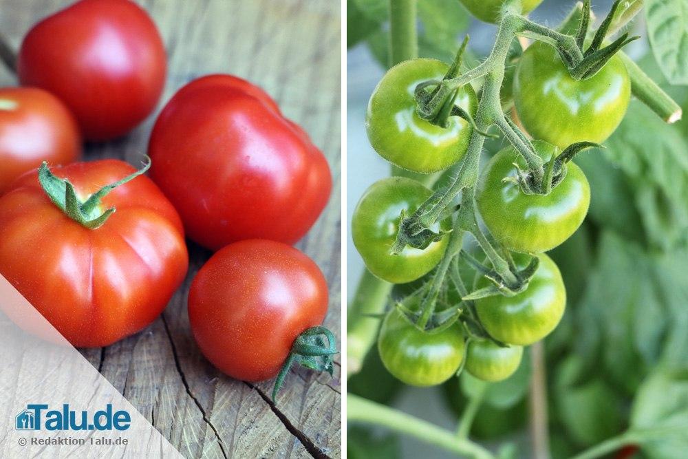 Reife und unreife Tomaten