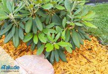 Rhododendron blüht nicht