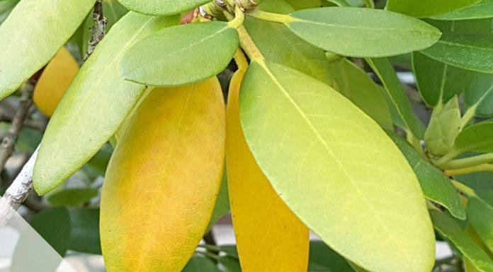 Rhododendron hat gelbe und braune Blätter