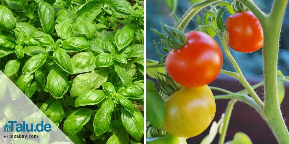 Tomaten und Basilikum gegen Wespen