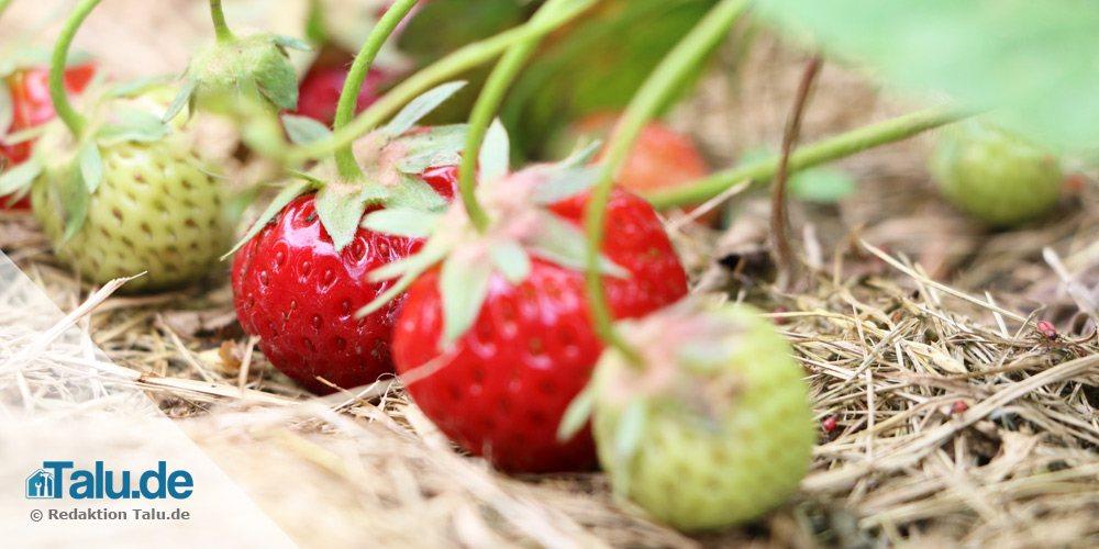 Erdbeer-Fakten