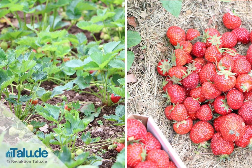 Mittel reifende Erdbeeren