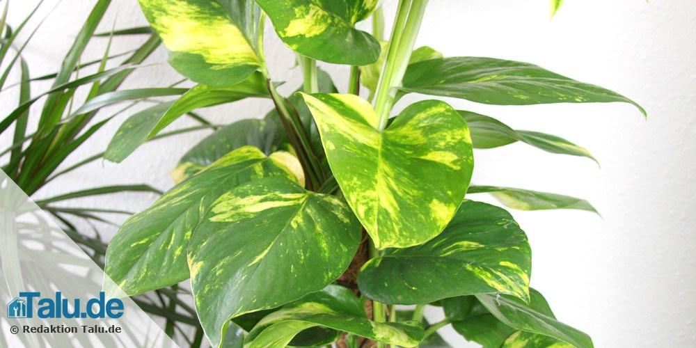 Pflegeleichte zimmerpflanzen 8 bl hende und gr npflanzen - Rankenpflanze zimmer ...