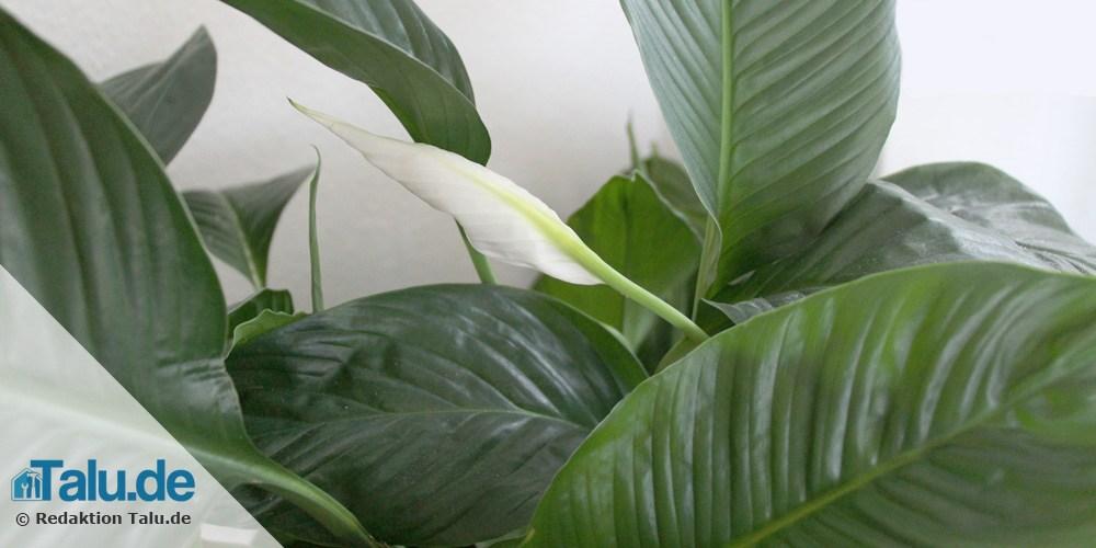 pflanzen im schlafzimmer 14 gesunde zimmerpflanzen. Black Bedroom Furniture Sets. Home Design Ideas