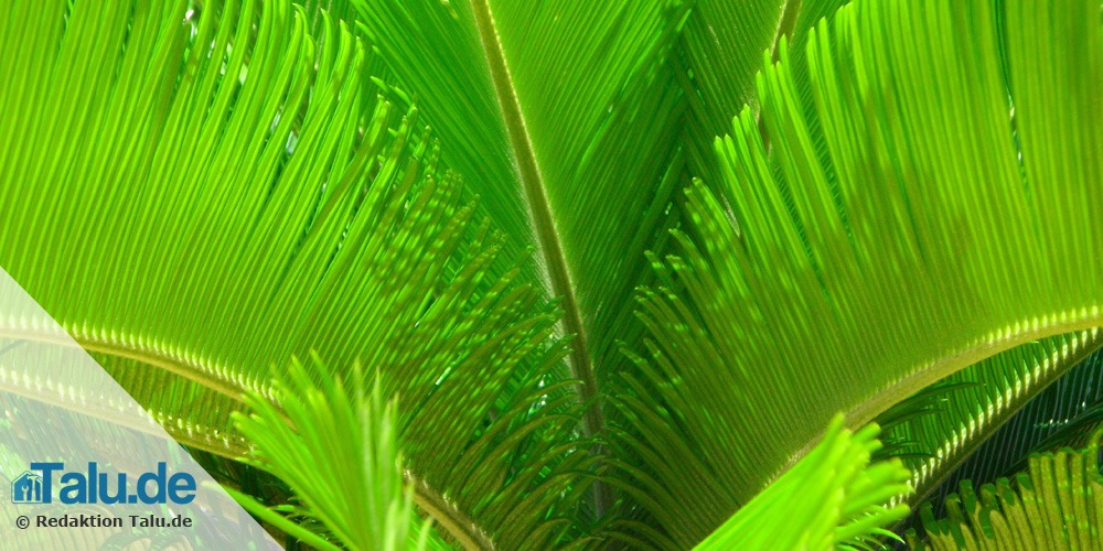 areca palme pflege zimmerpalme chrysalidocarpus lutescens areca palme zimmerpflanze ebay. Black Bedroom Furniture Sets. Home Design Ideas