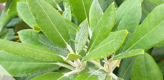 Rhododendron-Schädlinge