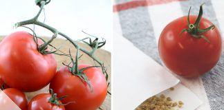 Tomatensamen gewinnen