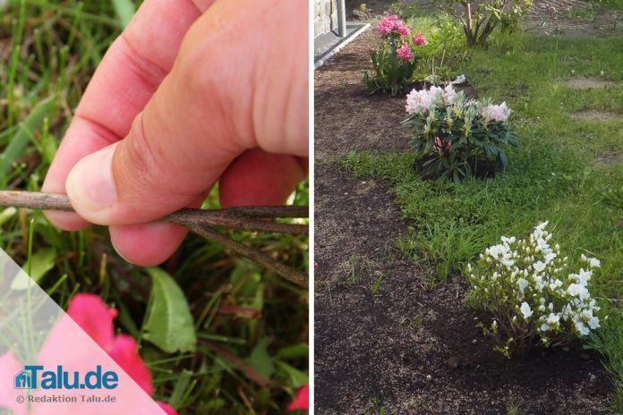 Turbo Rhododendron pflanzen in Garten & Kübel zur besten Pflanzzeit GR39